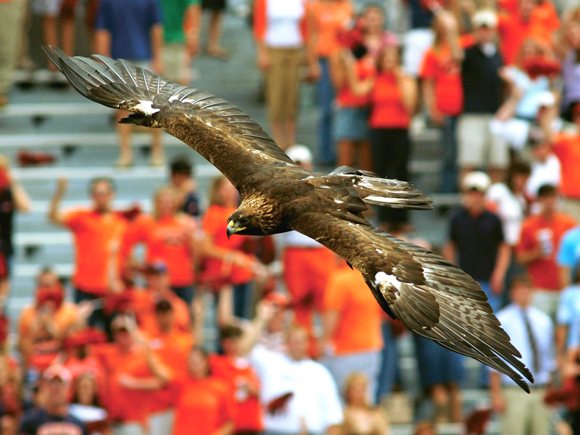 Auburn University bird War Eagle circling field before home football game