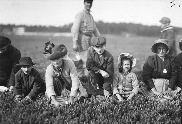 old B&W photo of men women kids picking berries in farm field
