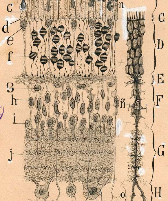 human retina nerve tissue freehand illustration drawn by Spanish neuroscience pioneer Santiago Ramon y Cajal